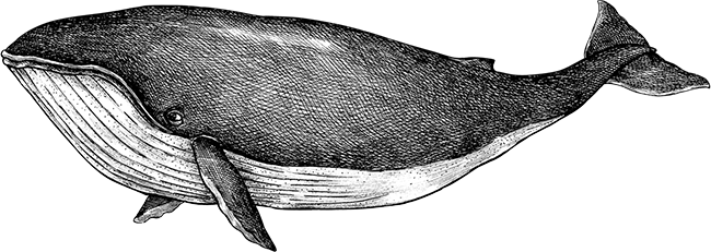 Hand illustrated black and white whale drawing in a vintage style
